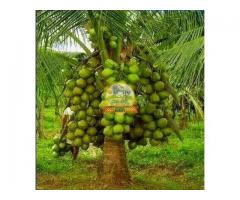 Coconut plants for sale