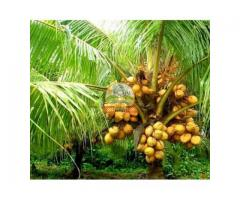 Hybrid coconut plants
