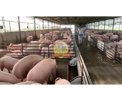 Live pigs - Image 1/2