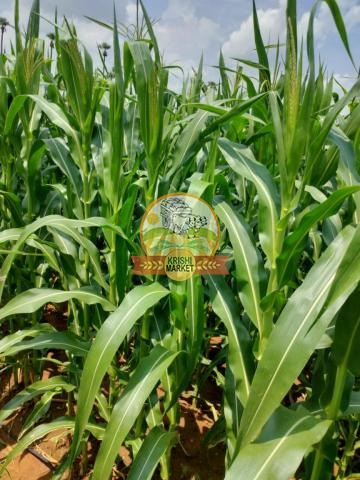 Yellow Maize corn - Raw - Direct from Farmers - 2/4