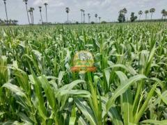 Yellow Maize corn - Raw - Direct from Farmers - Image 3/4