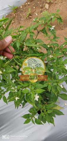 Hybrid Chilli Nagma 404 for sale - 3/3