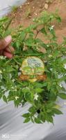 Hybrid Chilli Nagma 404 for sale
