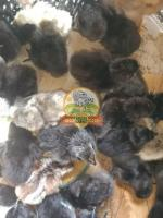 Country chicks & karungkozhi chicks
