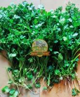Fresh Coriander Leaves - Image 1/3