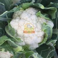 1 Acre Fresh Cauliflower ready to harvest.