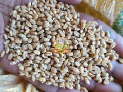 Wheat (No Chemicals)