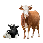 Cattle and Sheep